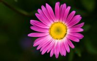 Pink chrysanthemum [2] wallpaper 1920x1200 jpg