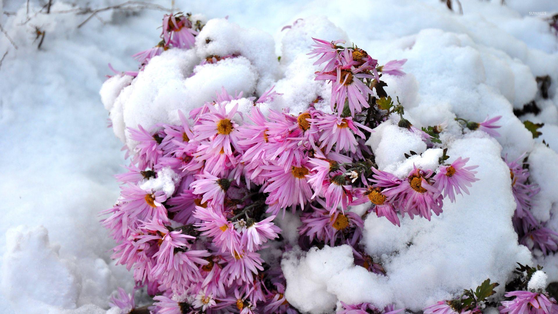 Pink Chrysanthemum Under The Snow Wallpaper Flower