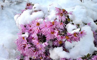 Pink chrysanthemum under the snow Wallpaper