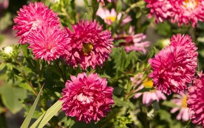 Pink Chrysanthemums in the garden wallpaper