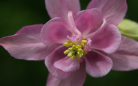 Pink Columbine wallpaper 2880x1800 jpg