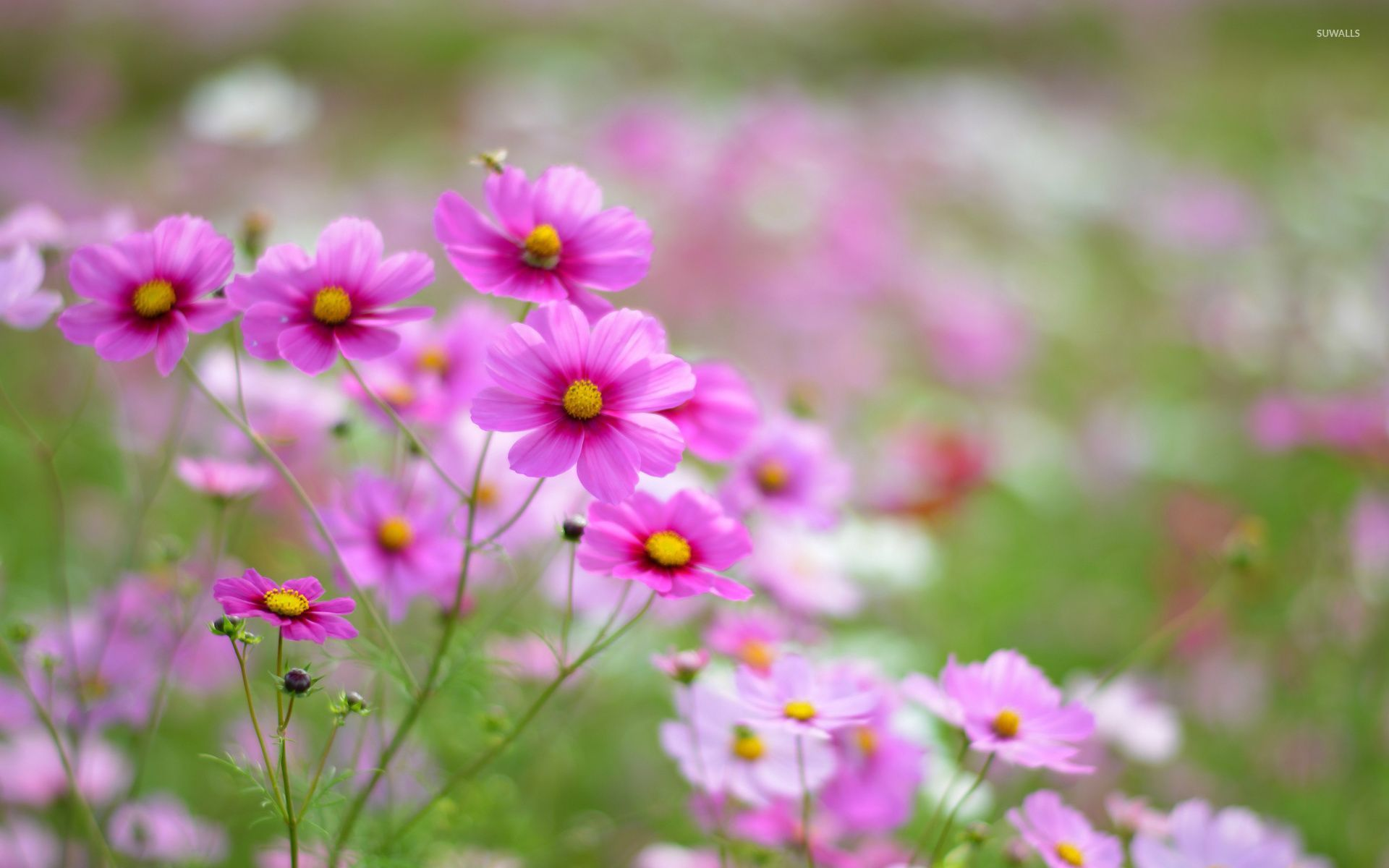 Pink cosmos 2 wallpaper flower wallpapers 32993 pink cosmos 2 wallpaper mightylinksfo Image collections