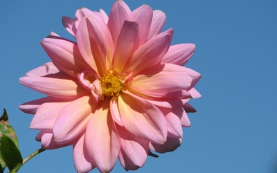 Pink Dahlia close-up wallpaper