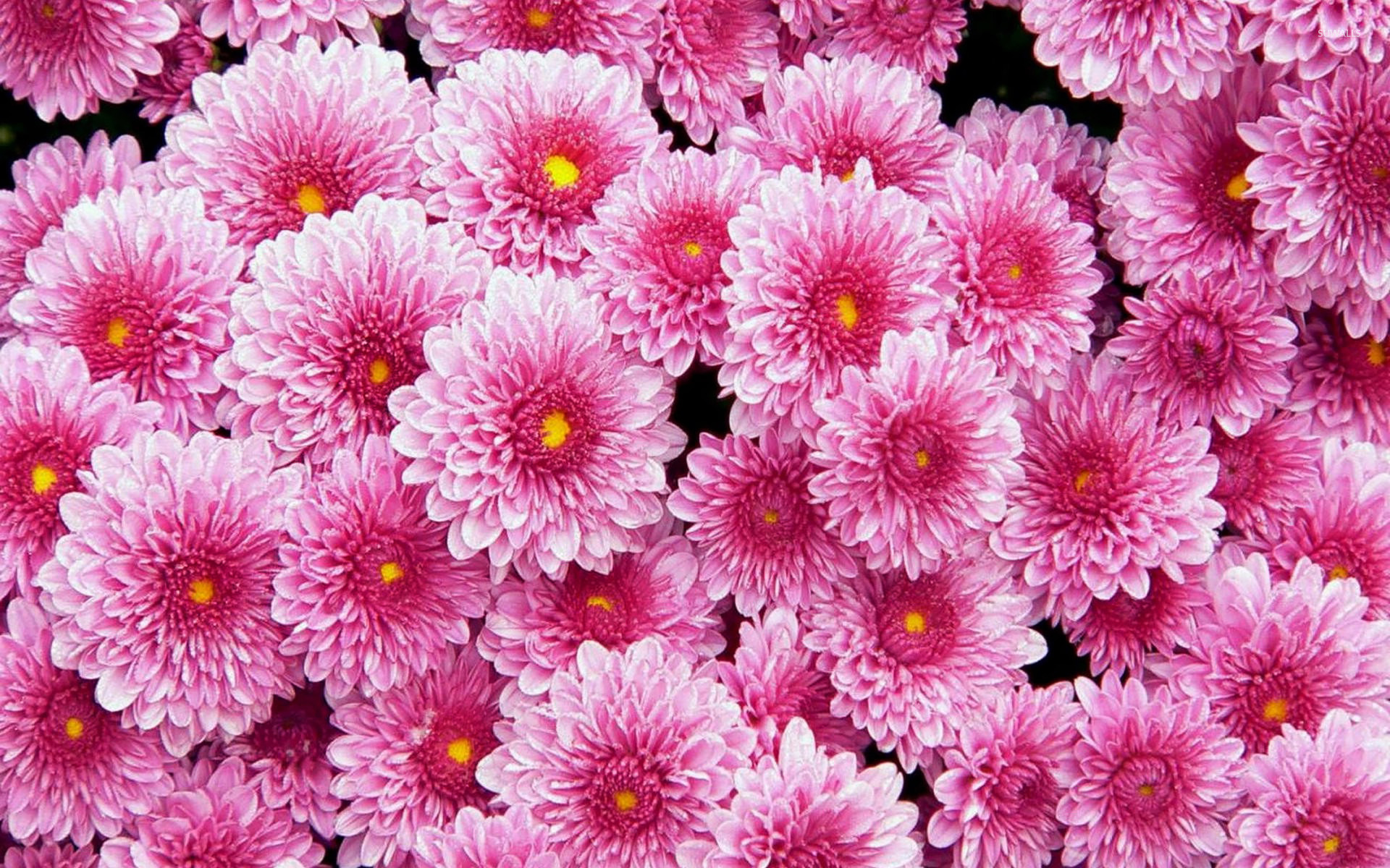 Pink Dahlias Wallpaper Flower Wallpapers 20441