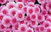 Pink dahlias wallpaper 1920x1200 jpg