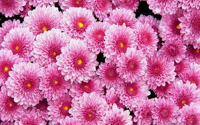 Pink dahlias wallpaper