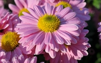 Pink daisies in a garden close-up wallpaper 1920x1200 jpg