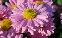 Pink daisies in a garden close-up wallpaper 1920x1200 jpg