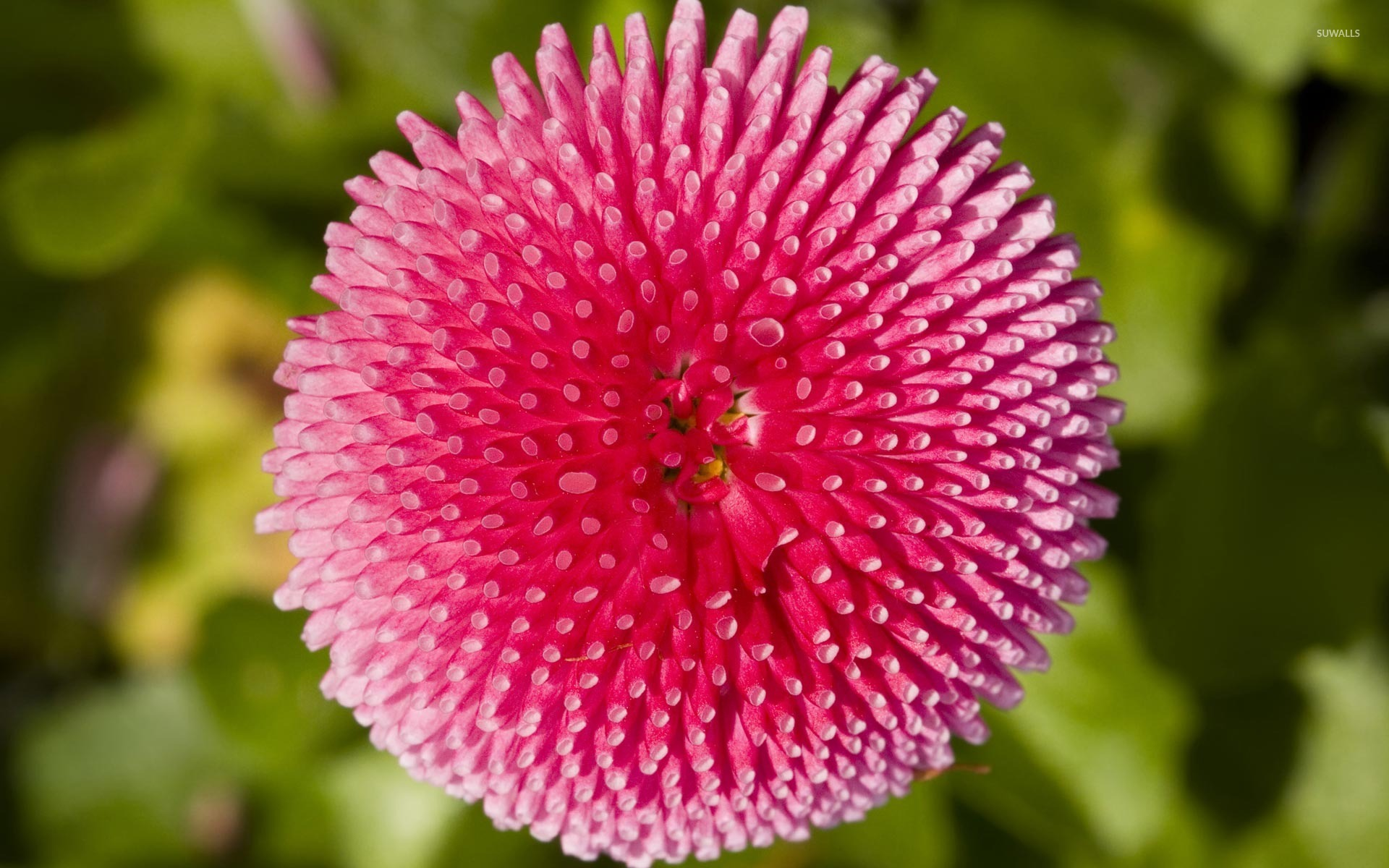 Pink Daisy Flower Wallpaper