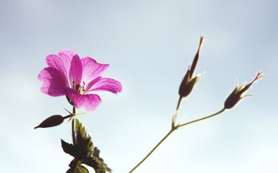 Pink flower rising towards the clear sky wallpaper