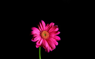 Pink gerbera wallpaper