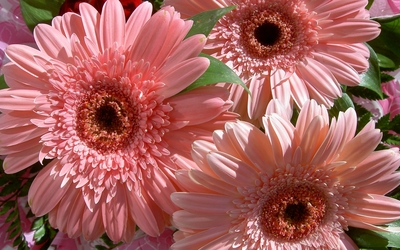 Pink Gerberas wallpaper