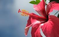 Pink Hibiscus wallpaper 1920x1080 jpg
