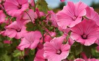 Pink hibiscuses wallpaper 3840x2160 jpg