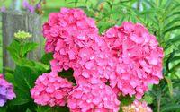 Pink hydrangea wallpaper 1920x1200 jpg