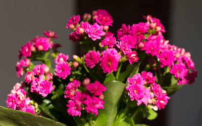 Pink Kalanchoe in the soft sunlight wallpaper