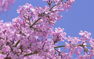 Pink lilacs on a tree branch wallpaper