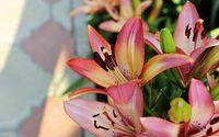 Pink lilies wallpaper 2560x1600 jpg