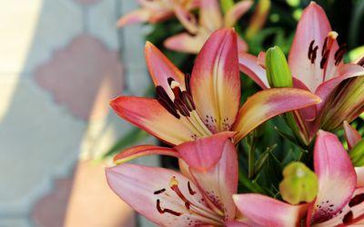 Pink lilies wallpaper