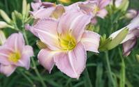 Pink lilies [2] wallpaper 2560x1600 jpg