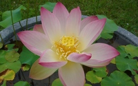 Pink lotus [8] wallpaper 2560x1600 jpg