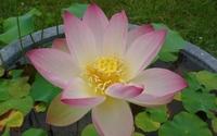 Pink lotus [8] wallpaper 2560x1600 jpg