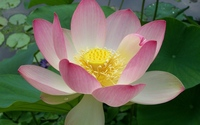 Pink lotus [6] wallpaper 1920x1200 jpg