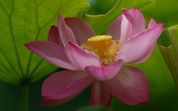 Pink lotus [7] wallpaper 2560x1600 jpg