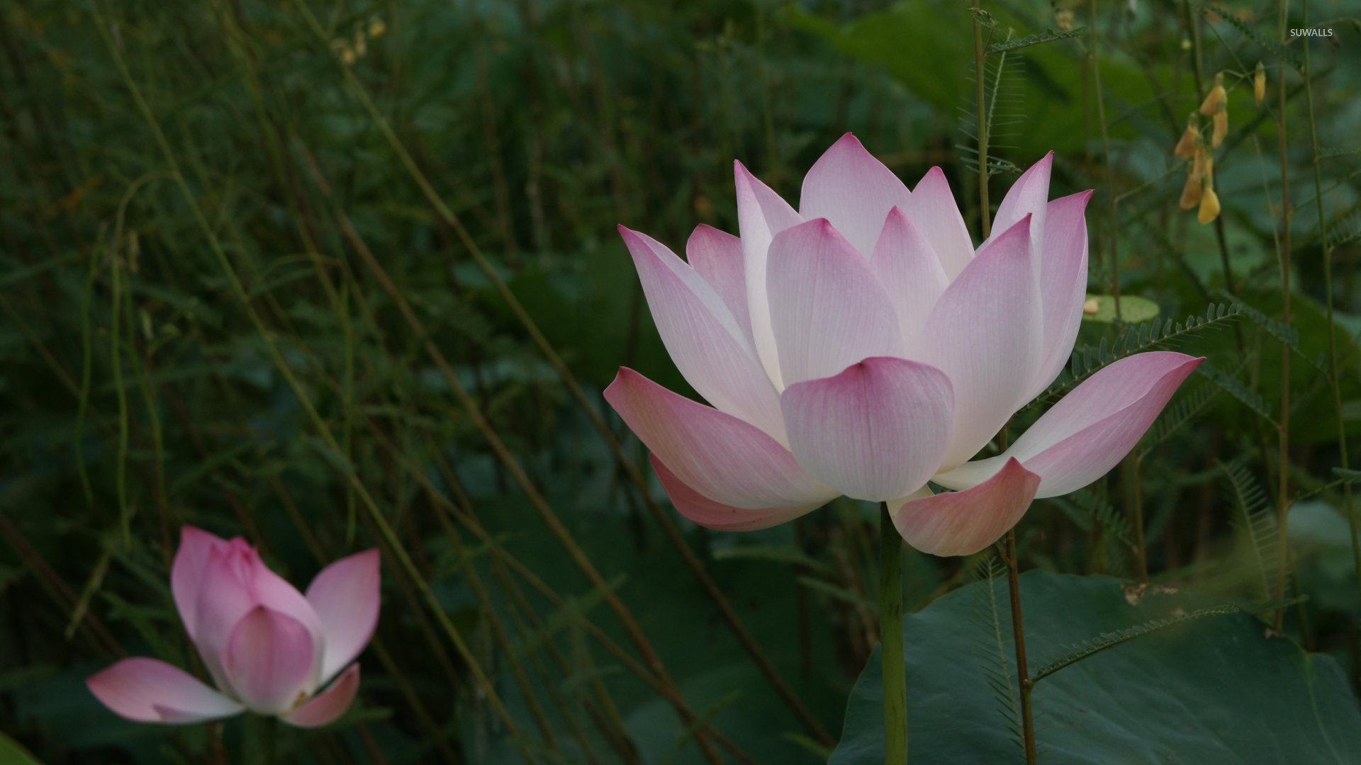 Pink Lotus [2] Wallpaper