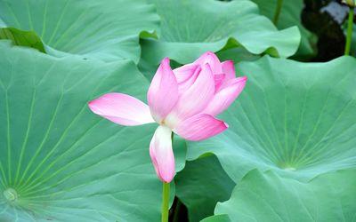 Pink lotus between the leaves wallpaper
