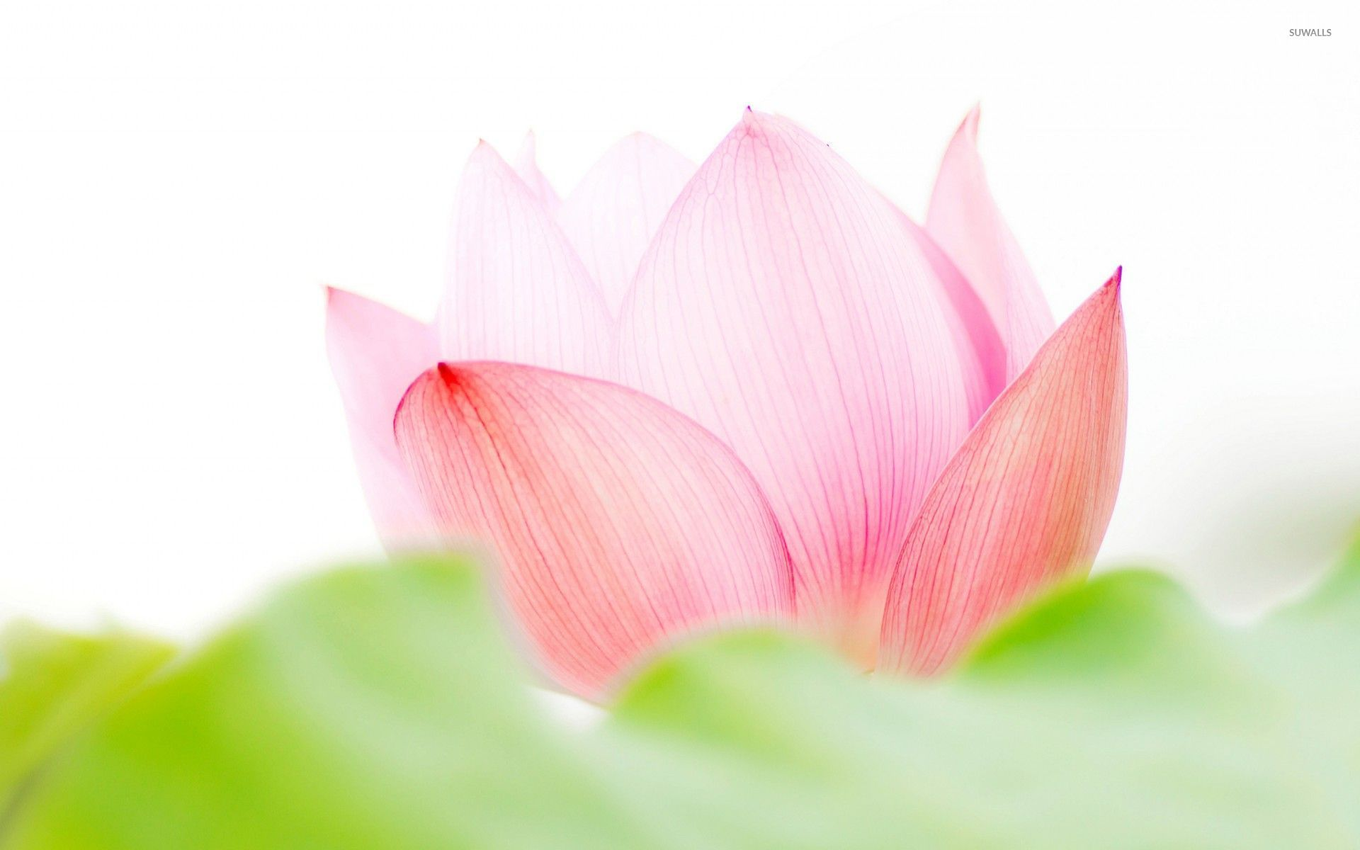 Pink lotus flower wallpaper - Flower wallpapers - #53170