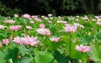 Pink lotuses wallpaper 1920x1200 jpg