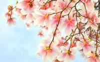 Pink magnolia wallpaper 1920x1080 jpg