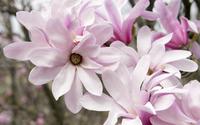 Pink magnolias wallpaper 3840x2160 jpg