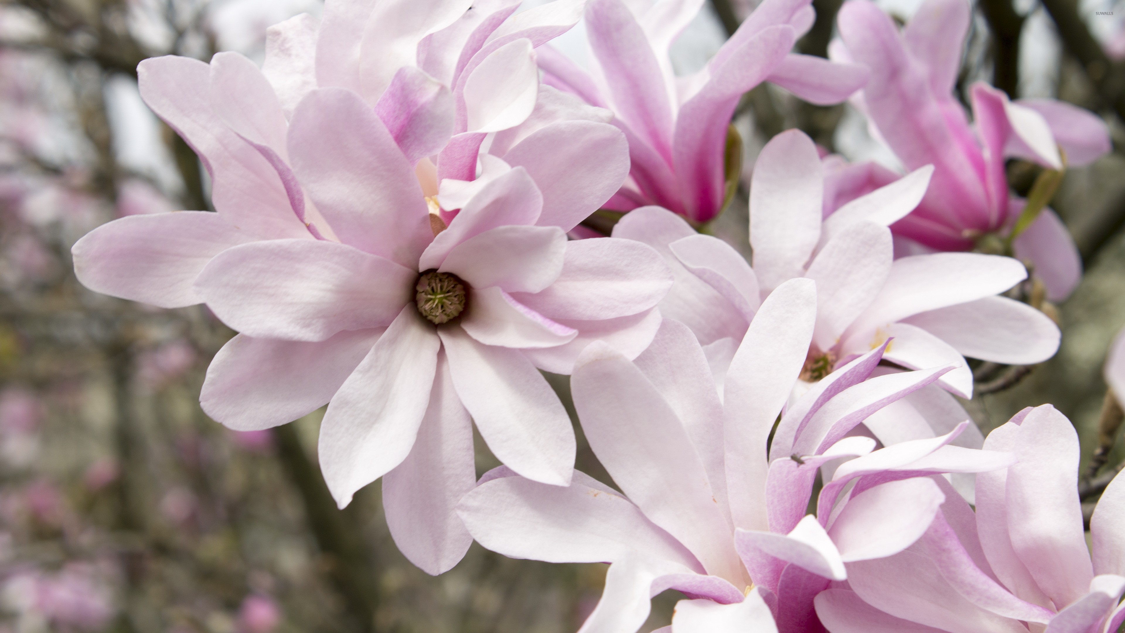 pink magnolias wallpaper flower wallpapers 42068