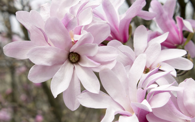Pink magnolias wallpaper