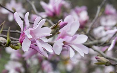 Pink magnolias [2] wallpaper