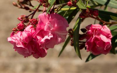 Pink Nerium oleander blossoms wallpaper