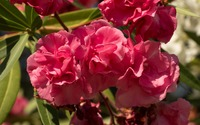 Pink Nerium oleander blossoms in the sunlight wallpaper 2880x1800 jpg