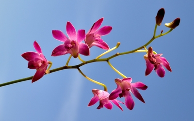 Pink orchids [4] wallpaper