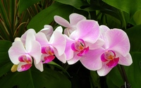 Pink orchids [2] wallpaper 1920x1200 jpg