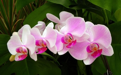 Pink orchids [2] wallpaper