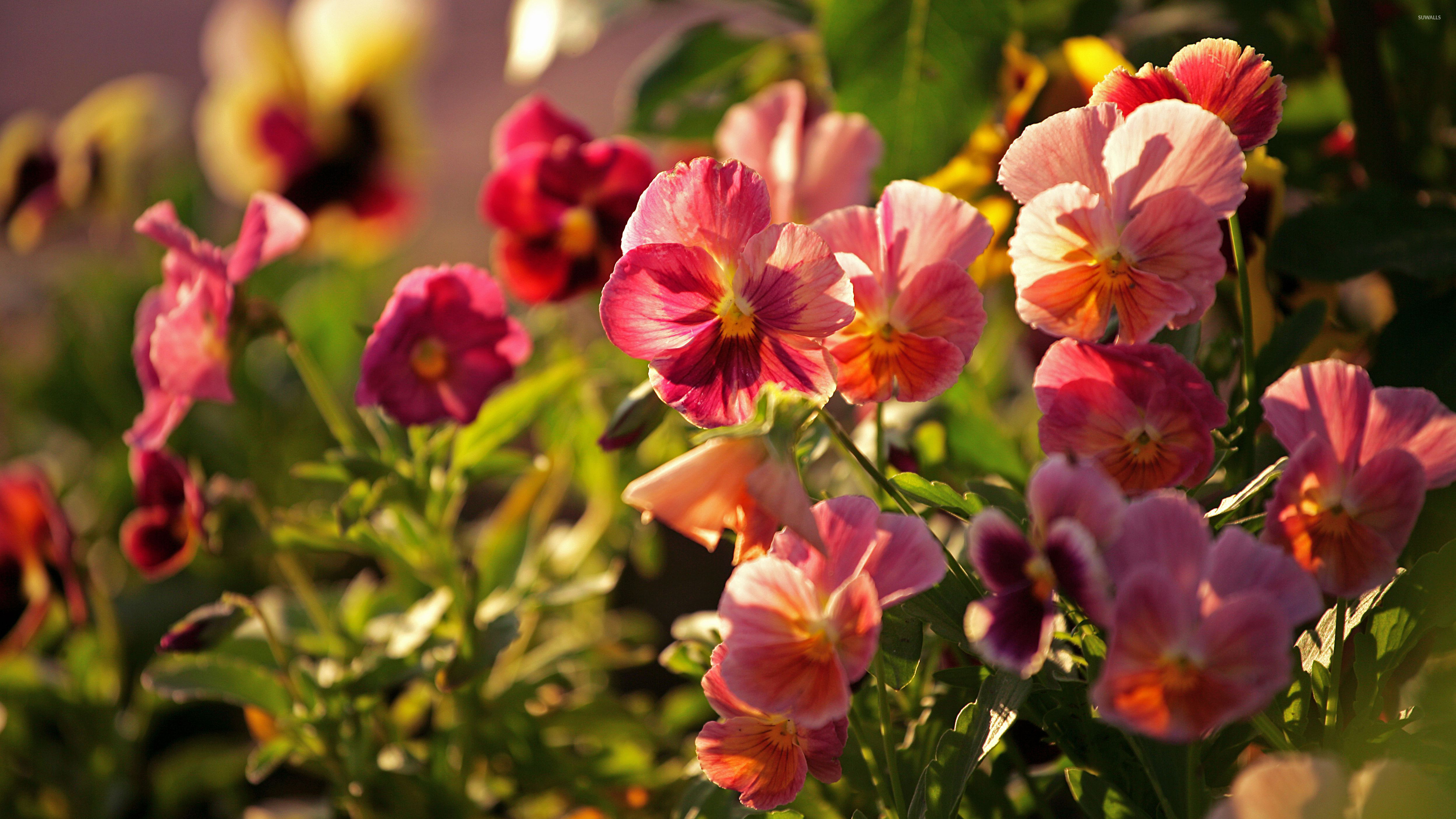 Pink pansies wallpaper flower wallpapers 39728 pink pansies wallpaper mightylinksfo Choice Image