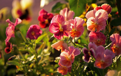 Pink pansies wallpaper