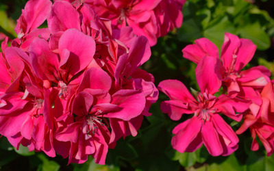 Pink Pelargonium blossoms wallpaper
