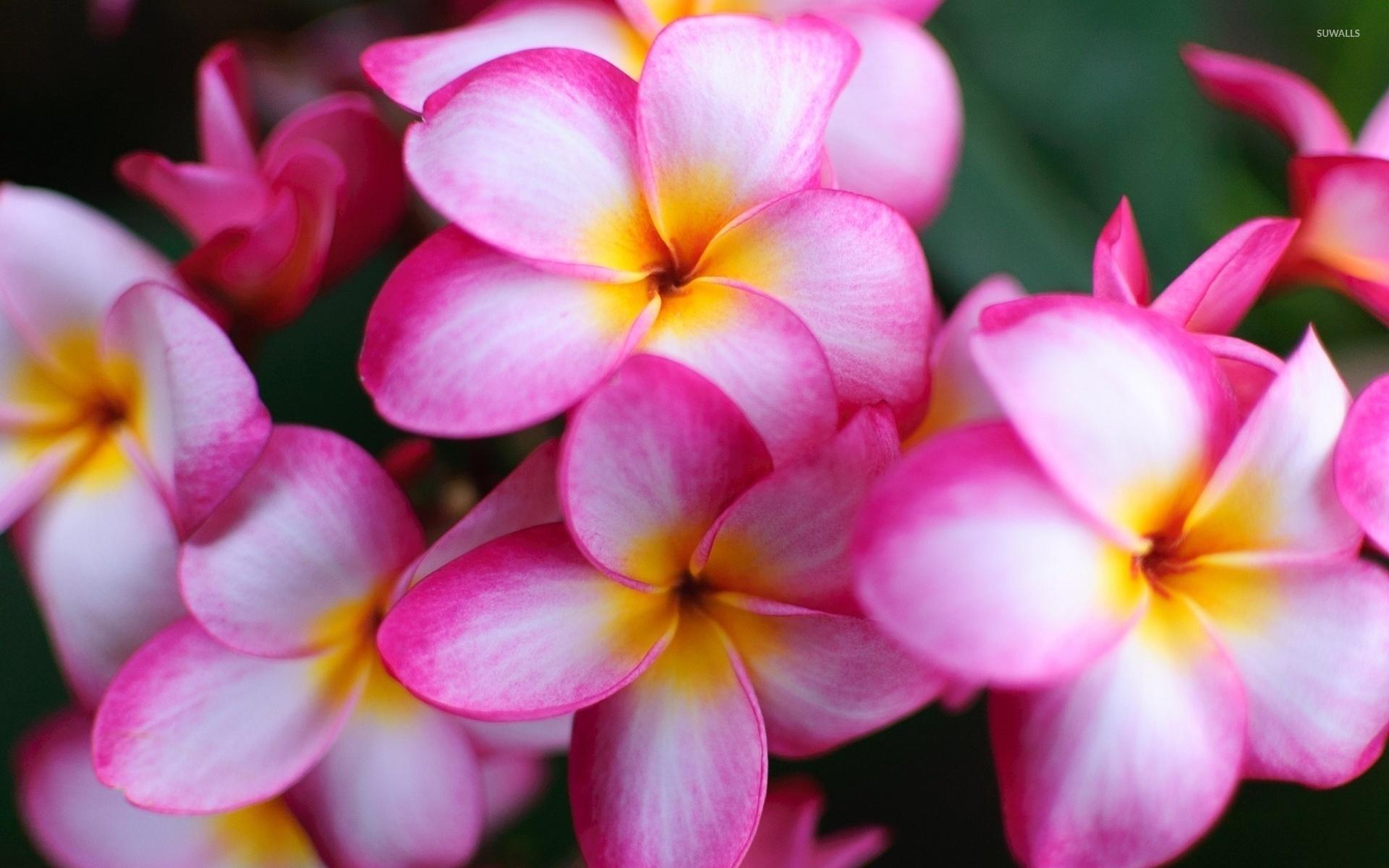 Pink plumerias 3 wallpaper flower wallpapers 40213 pink plumerias 3 wallpaper mightylinksfo