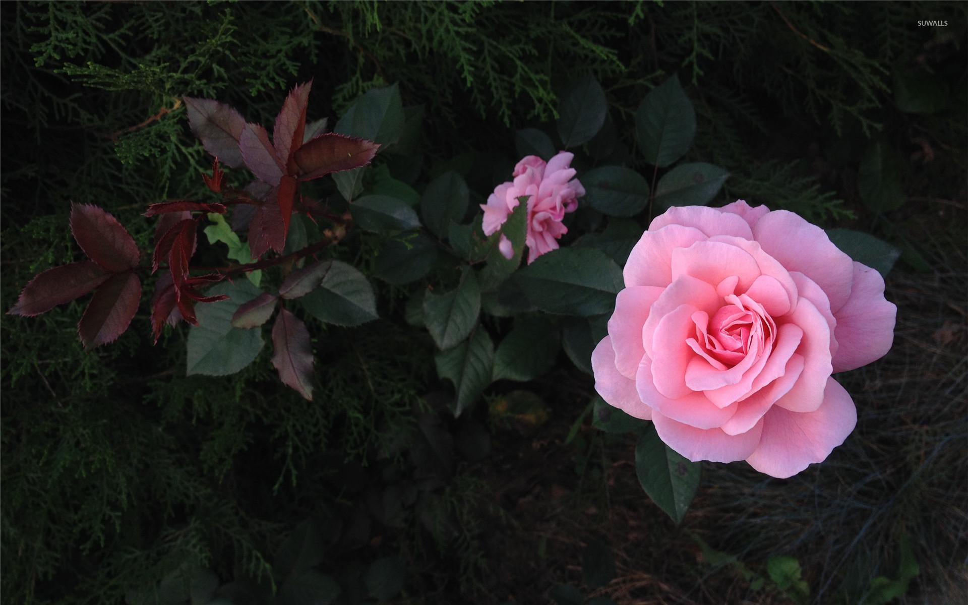 Wallpaper flowers pink rose