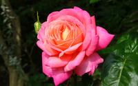 Pink rose [4] wallpaper 1920x1200 jpg