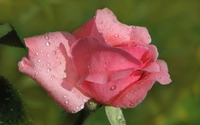 Pink rose with water drops [2] wallpaper 2560x1600 jpg