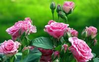 Pink roses wallpaper 1920x1200 jpg